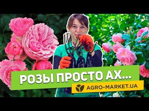 Саженцы роз | Плетистые, чайно-гибридные, английские, парковые, розы на штамбе и др.| Agro-Market.ua