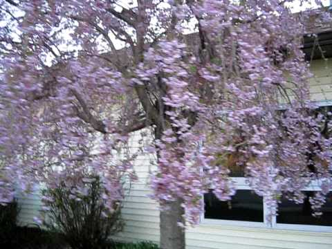 Pretty Weeping Pink Cherry Tree Flowering