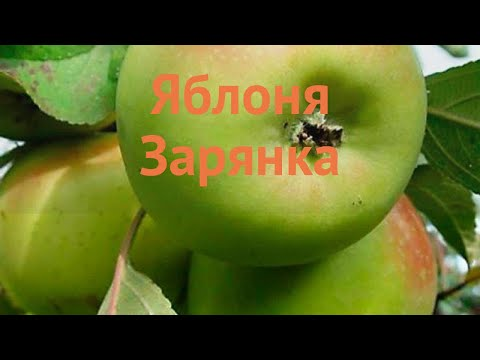 Яблоня обыкновенная Зарянка (malus zaryanka) 🌿 Зарянка обзор: как сажать, саженцы яблони Зарянка