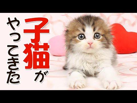 【子猫時代】来たばかりでぽてぽてしてるもふ猫が可愛すぎる