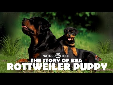 The Story of Rottweiler Puppy Bea - Video Diary 2015 - Rottweiler Puppies