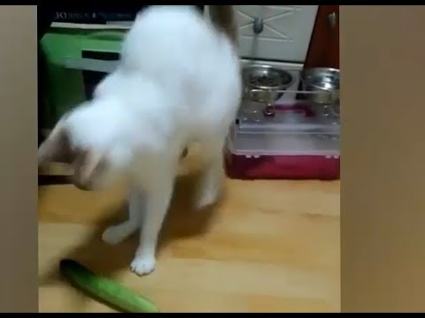 ردة فعل القطط للخيار مضحك  Humorous Present Cats response