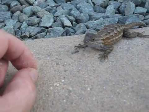 Feeding Wild Lizards 1 Youtube
