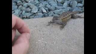 Feeding Wild Lizards 1