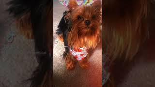 Yorkie: Uni showing off her only trick