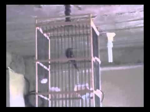 Kolibri Merak/Gunung