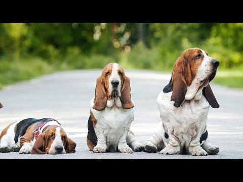 basset-hound:-all-you-need-to-know-about-this-dog-breed-(basset-hound)-[vf]