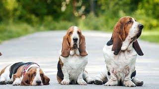 Basset Hound: tout savoir sur cette race de chien (Basset Hound) [VF]