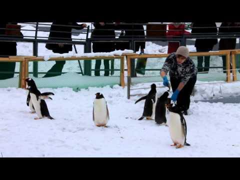 Кормление папуанских пингвинов
