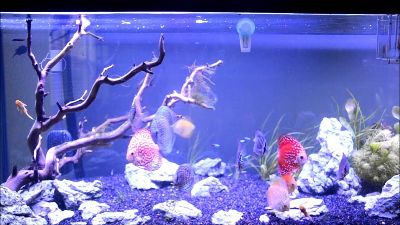 Freshwater aquarium fish water temperature - How To Keep Discus 101 Part 1 Introduction And Temperature J03yyung Aquariums