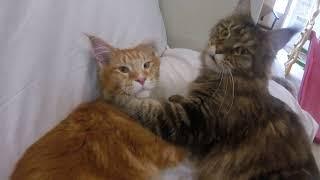 КОШКА УХАЖИВАЕТ ЗА КОТОМ МЕЙН КУН 😻 МИЛЫЕ КОТИКИ Кошачья любовь love cats MAIN COON CATS КОТЫ 2019
