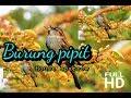 Keindahan Burung Pipit House Sparrow Vidio Full Hd  Mp3 - Mp4 Download