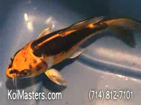 Butterfly koi fish for sale bkf008 yellow gold white for All black koi fish