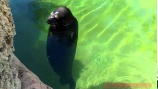 waikiki aquarium spinning seal 2014