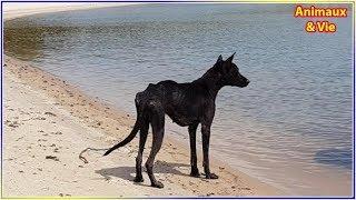 Abandonnée et mourante sur une île déserte cette chienne va rencontrer son sauveur