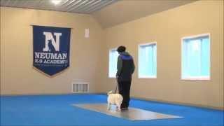 Oakley (bulldog) Boot Camp Dog Training Video