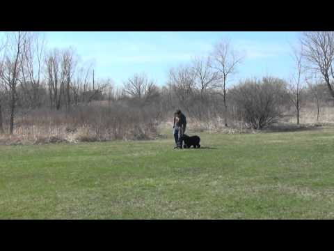Portuguese Water Dog Training Off Leash With Suburban K9