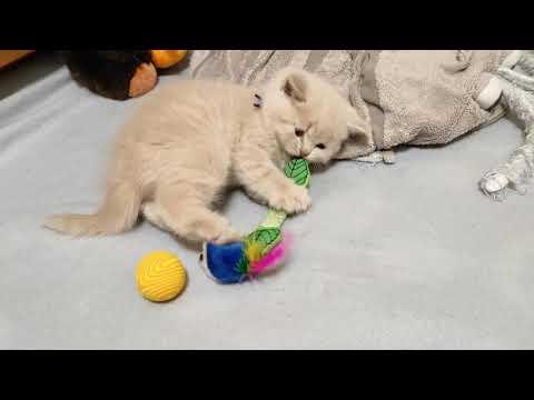 Британский котенок Назар