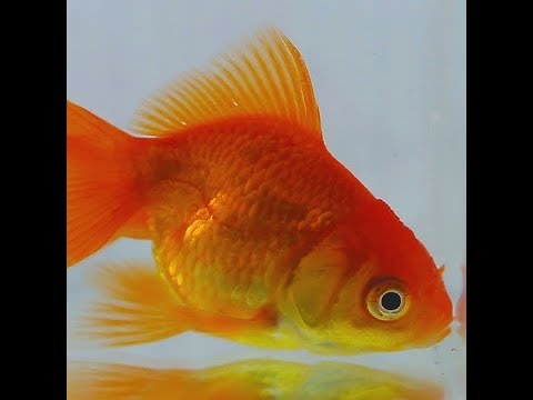 Goldfish Go Months Without Oxygen By Making Alcohol Inside Cells