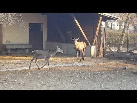 Pair of Red deers