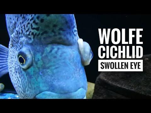 Cichlid Swollen Eyeball Treatment.
