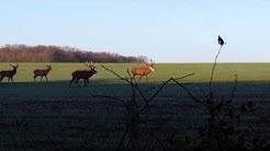 Harde cerf et biche en forêt de châteauneuf en thymerais