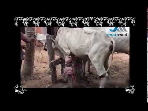Wow Amazing Man Breed Cow/How to breds cows in my Country ...