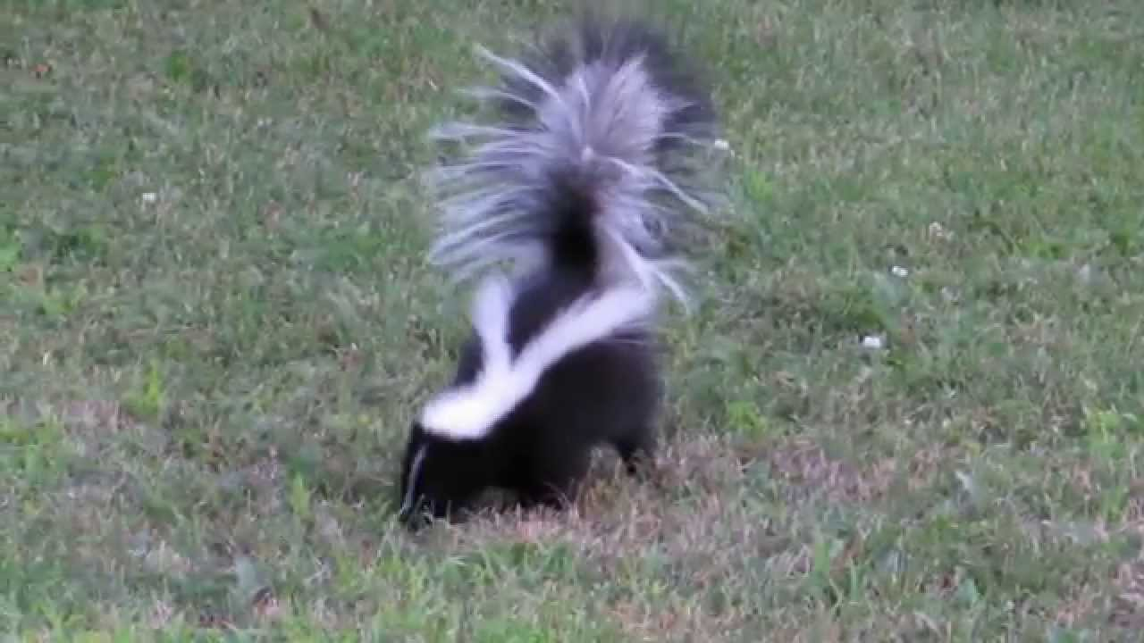 how to keep skunks out of your yard at night
