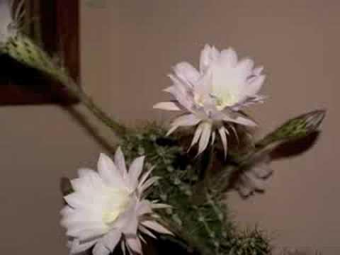 Cactus Flowers 2008