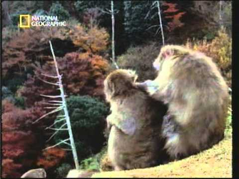 Homosexual behavior in japanese macaques