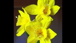 How to make Paper flowers Daffodils / Narcissus (Flower # 7)