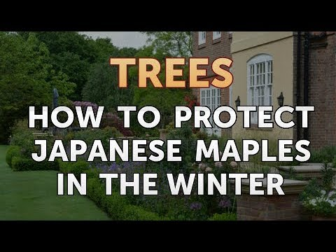Protect Anese Maples In The Winter