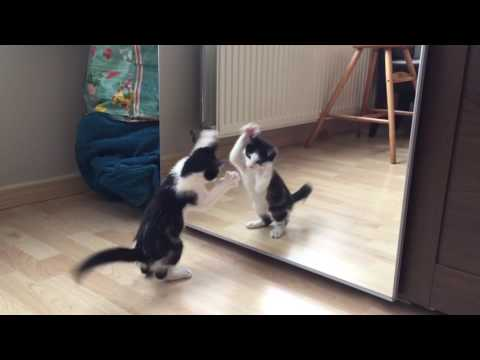 Kitten vs mirror for the first time - Wiske the cat!