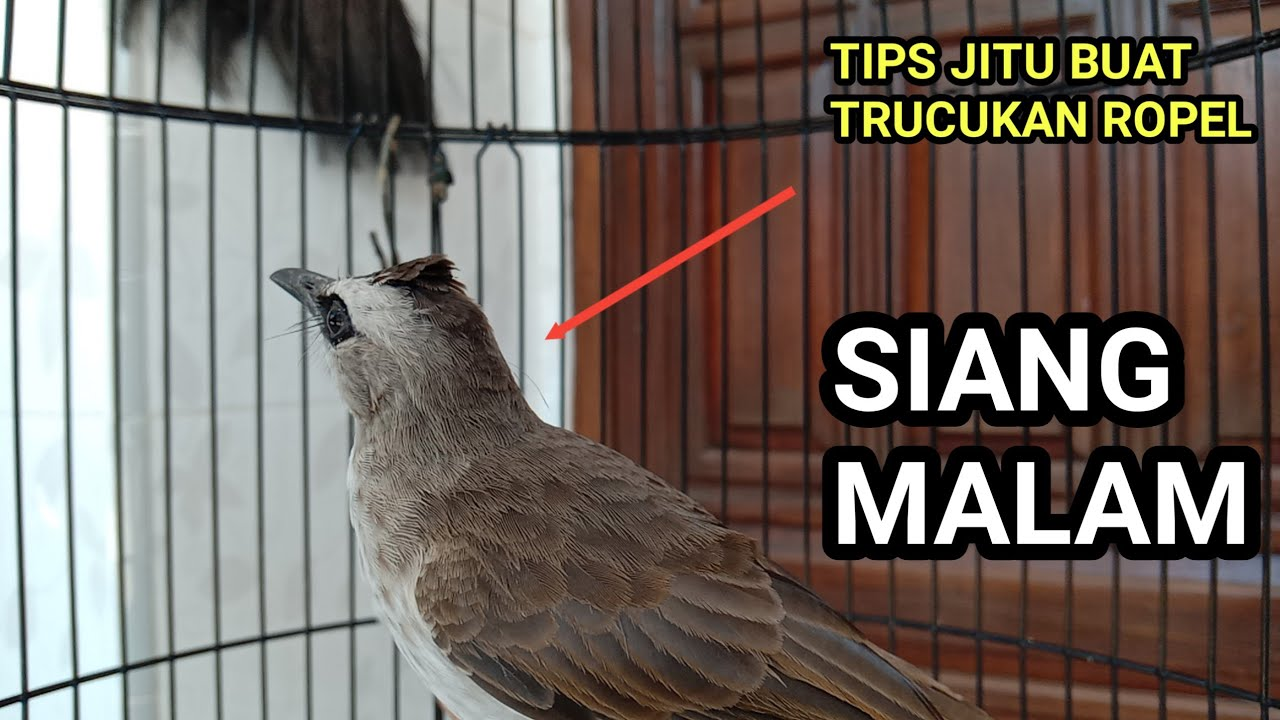 Cara Melatih Burung Trucukan Agar Ropel Siang Dan Malam Youtube