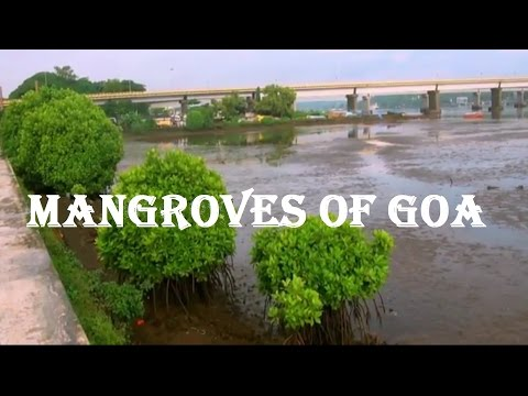 Mangrove Vegetation in Mandovi River, Panaji