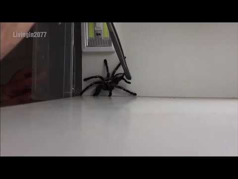 Bobby Leach - When Catching A Spider Goes Very VERY Wrong