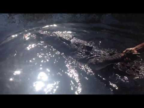 A big crocodile in Black River (Jamaica)