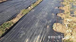 통영왕산딸기 21년 1월 겨울에 제초매트 작업