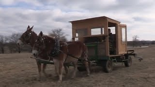 Feeding Cattle with Draft Mule Power