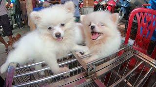 Phiên Chợ chó mèo cảnh thú cưng mới nhất | Hỏi giá bán chó mèo
