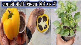 How To Grow Yellow Capsicum Plants At Home l घर में कैसे लगाए पीली शिमला मिर्च का पौधा l आसान तरीका