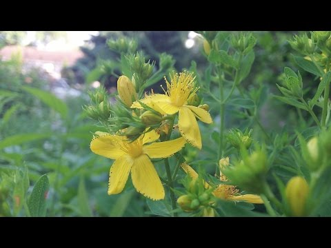 How To Identify St  John's Wort Medicinal Plant - Herbal Remedy for Depression and More