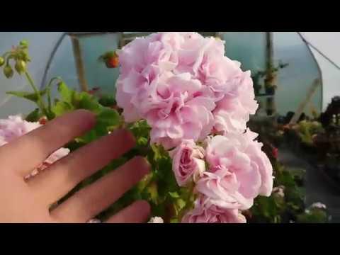Hybrid ivy pelargoniums in fantastic bloom !