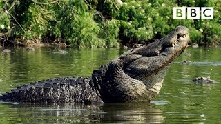 SIZE matters for Alligators looking for love | Animals in Love - BBC