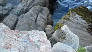 cute squirrel by the sea, pacific grove, monterey county, california