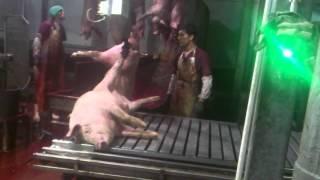 Убой свиней 2.
