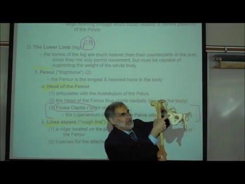 THE LEG BONES & PELVIS by professor fink
