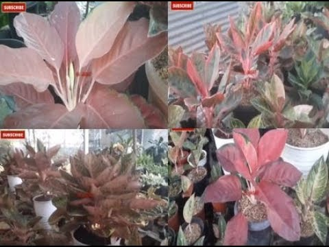 bunga-aglonema-selalu-mempesona,-menjual-tanaman-hias