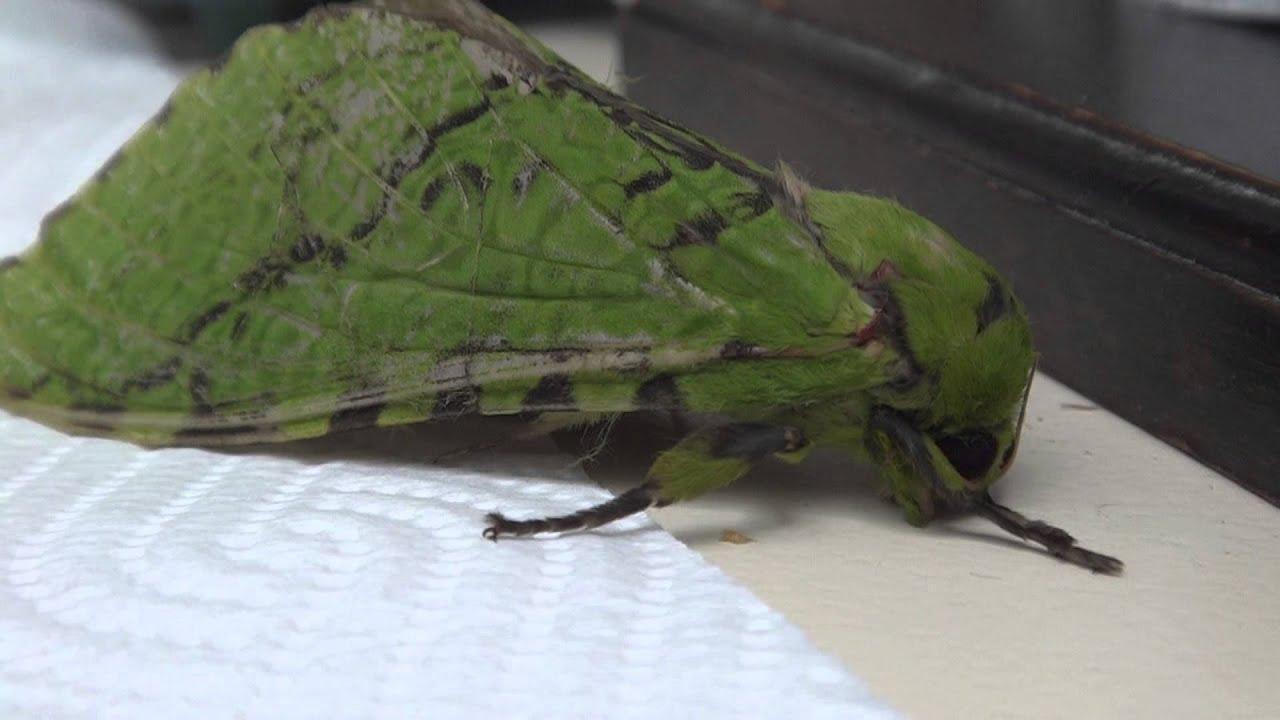Carpet Moths Nz | Two Birds Home
