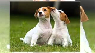 Jack Russell Terrier Puppy Training